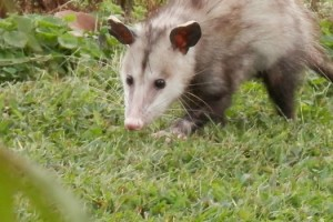 How a Possum Reminds Me of God's Hand on My Life